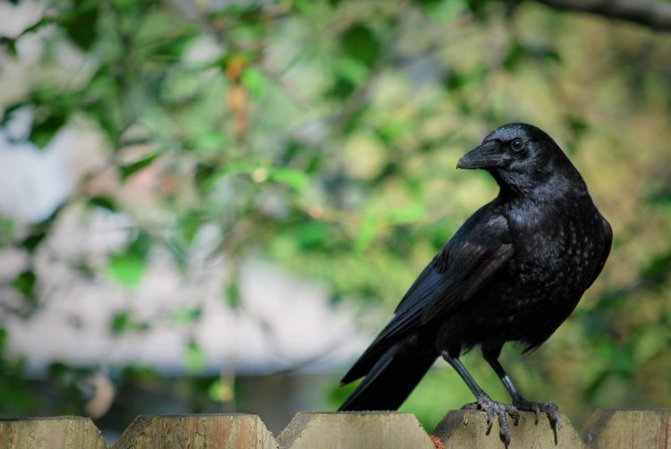 crow on fence1