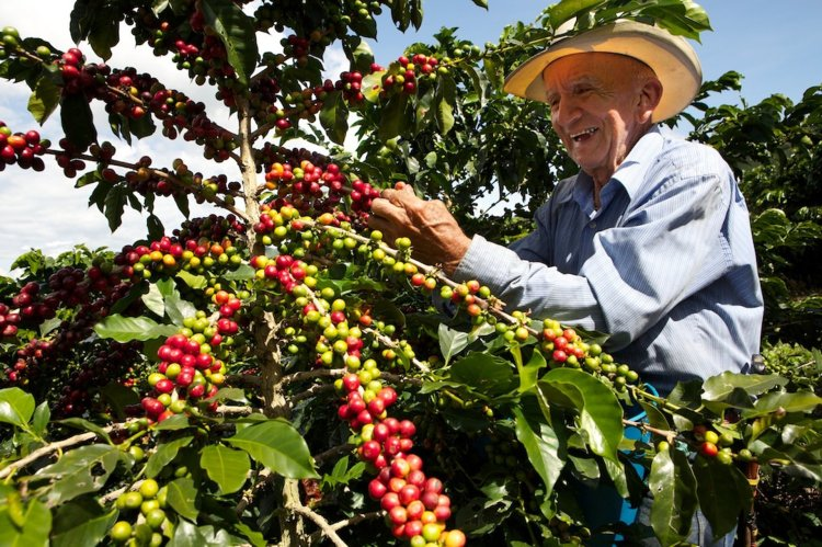 colombia-coffee-harvest